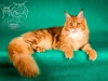 Maine-coon Ma3sha Snow Spirit`s of Crystal Jam
