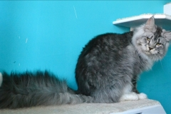 Maine - coon Pillowtalk`s Xoulo