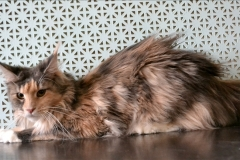 Maine-coon Snow Spirit`s Fairy Tale