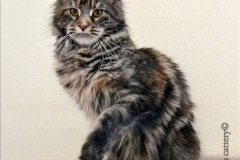 Maine-coon Snow Spirits Fruittella