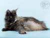 Maine- coon Victorycoon Wilora